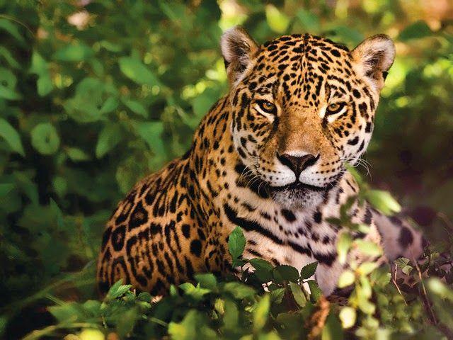 Resultado de imagen para Proteger el Yaguareté